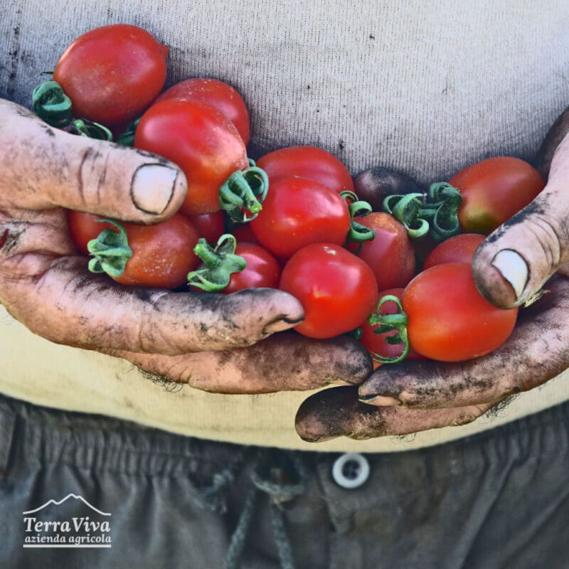 pomodoro del piennolo del Vesuvio