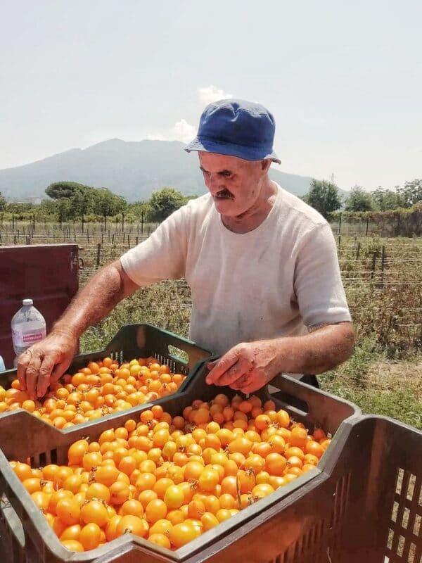 pomodoro giallo del monte somma